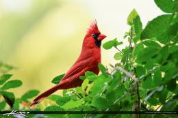 Cardinal Red Bird Perched on Bush | HDR Photography by Captain Kimo 462