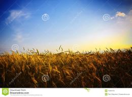Wheat Field At Sunset Royalty Free Stock PhotoImage: 15656475 721