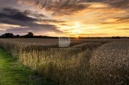 Terry Mathews Creative: Wheat Field at Sunset 1116