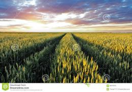 Wheat Field At Sunset Stock PhotoImage: 58016972 1453