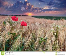 Beautiful Summer Sunset On A Wheat Field Stock PhotographyImage 1503