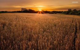 Wheat field at sunset wallpaper #1427 135