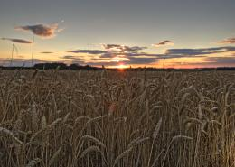 sunset wheat field 123
