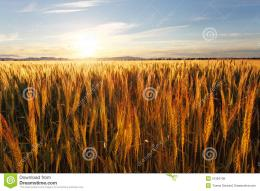 Wheat Field At Sunset Royalty Free Stock PhotosImage: 31394738 1648