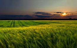 Green wheat field sunset Wallpapers Pictures Photos Images 409