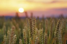wheat field at sunset | Photography | Pinterest 1218