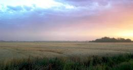 PanoramioPhoto of Wheat field at sunset 1725