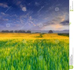 Wheat Field At Sunset Stock ImagesImage: 21118484 1107