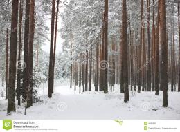 Typical scene of North Europe winterroad goes through snowy forest 1710