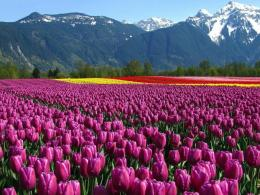 Similar wallpapers for Wondrous Tulip fields 583