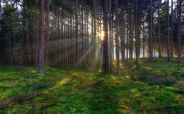 tree trees forest sunlight rays beams beam ray sunset sunrise moss 156