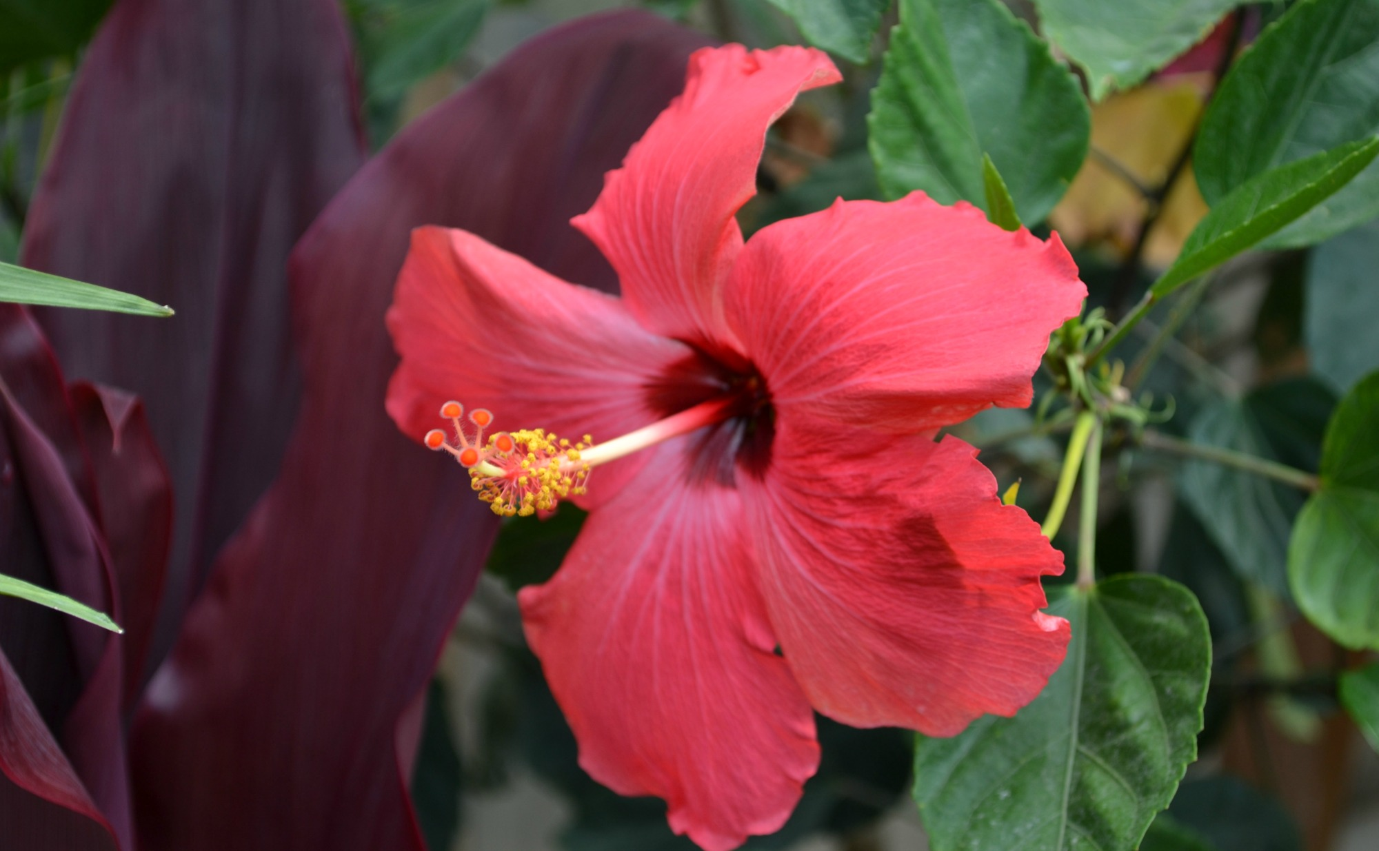 Deep Pink Hibiscus Deep Pink Hibiscus Flower Tropical 1397