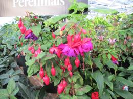 Hardy Fuchsia \'Double Otto\' | Our Nursery | Pinterest 1450