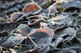 Crisp and crunchy frosty leaves under my feet 883