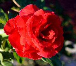 features a red rose in full bloomThe picture is free for any use 1579