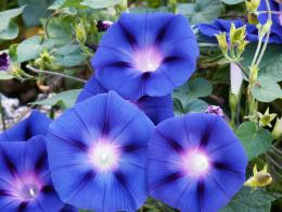 Morning Glory vsMorning Glory | FormLA Landscaping 1790