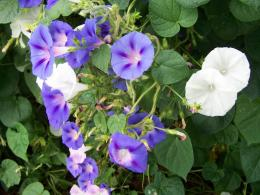 White Morning Glory Vine Morning glory flowers 1336
