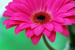 Bright Pink Gerbera Daisy Flower by HotHibiscus on DeviantArt 1026