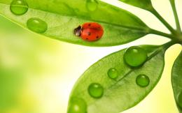 Ladybug on the leaf wallpaperfree wallpapers, download wallpaper 1962