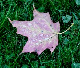 Fall Leaf with Raindrops 1524