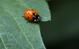 Ladybug On Leaf | LZK Gallery 1323