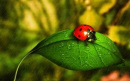 wallpaper tags nature water rainy leaf drops ladybug cute rain drops 1886