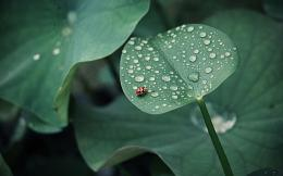 tags landscape green water rain drops ladybug lotus leaf insects 1145