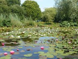 Down by the sea: The water lily ponds 997