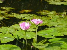 Description Waterlily pond jpg 753