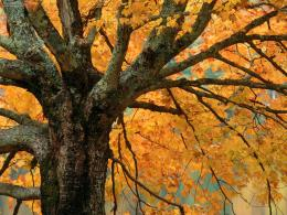 Nature: Large Maple Tree In Autumn Bass Lake North Carolina, picture 1677