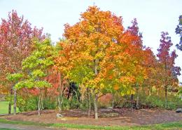 Autumn Maple Trees In Park Free Stock Photo HDPublic Domain 1137