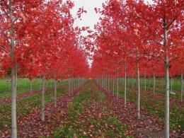 Chicago, Illinois Landscaping: Buy Autumn Blaze Maple Trees Online 1663