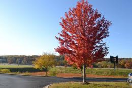 Autumn Blaze Maple is a popular hybrid tree variety 1991
