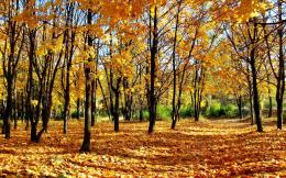 Maple Trees In Autumn wallpaper661435 650