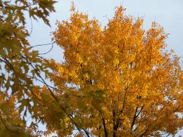 Autumn Maple Tree Free Stock Photo HDPublic Domain Pictures 878