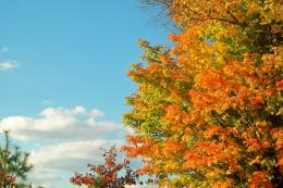 Autumn Maple Tree 1740