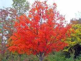 Autumn Maple Tree Free Stock Photo HDPublic Domain Pictures 1614