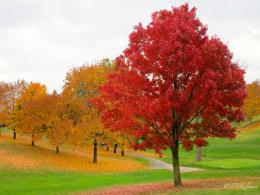 fall foliage, maple tree, Sleepy Hollow, autumn leaves 136