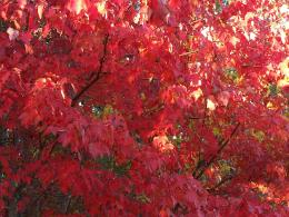 category trees plants flowers maple tree in fall colors a maple tree 744