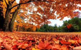 Autumn Maple Leaves Wallpapers Pictures Photos Images 1260