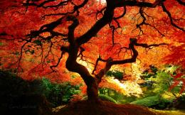 Japanese Maple in Fall Color 1451