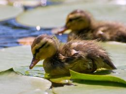 Download Cute little ducks wallpaper in Animals wallpapers with all 1329