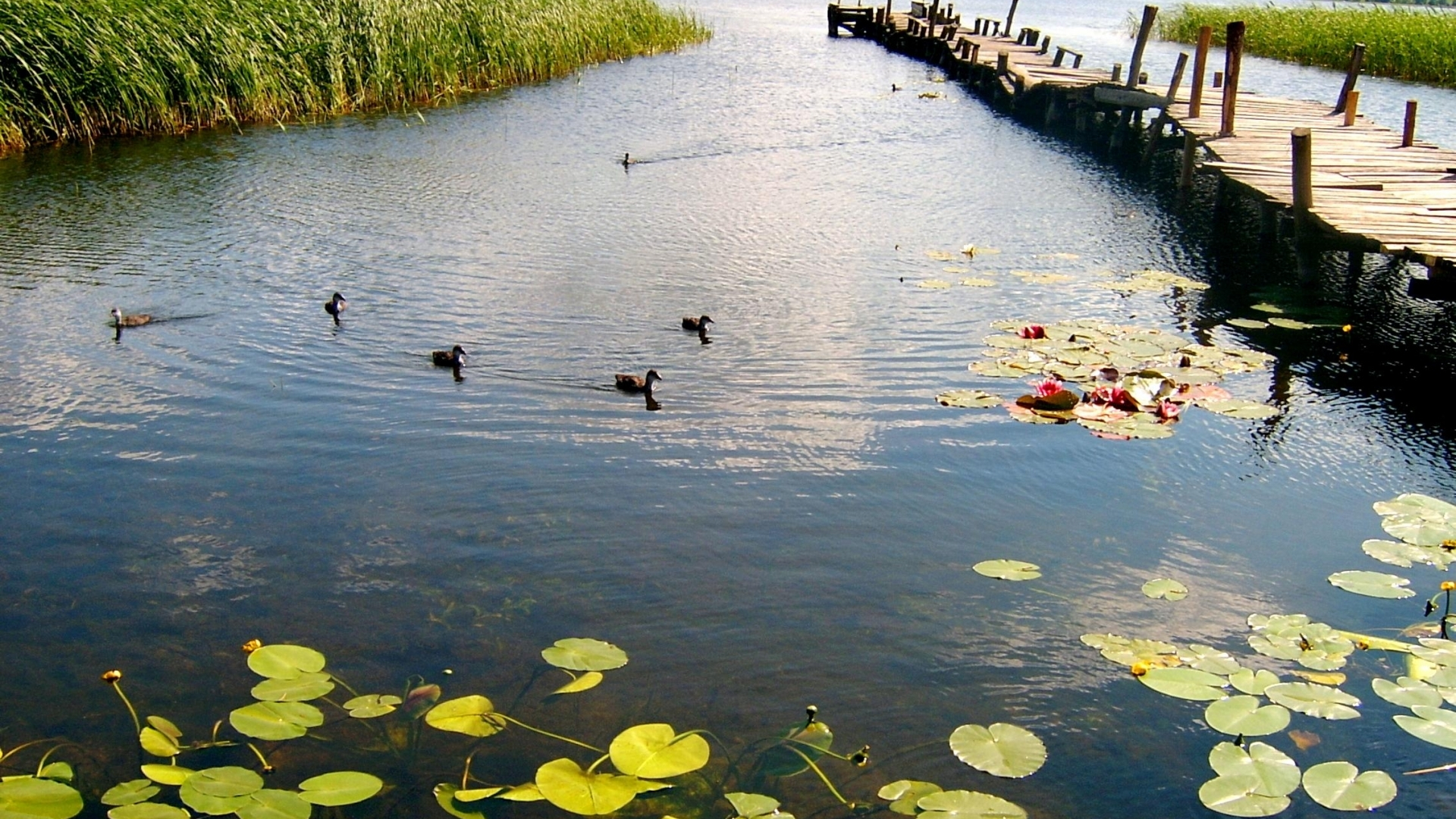 Download Obelija Lake with ducks wallpaper in Nature wallpapers with 1028