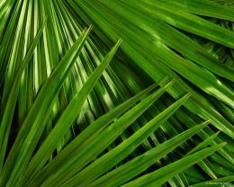 palm leaves palm leaf palm leaves palm tree leaves palm leaf fan palm 1889