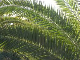 palm oil leaves swordoil palm 255