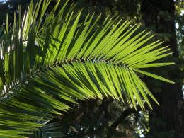palm leaf shadowleaf palm 1460