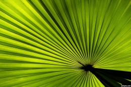 Palm leaf picture, by DigwasHegde for: stripes photography contest 1442