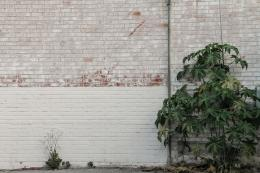 plant growing in an urban environment next to a white, worn brick wall 1790
