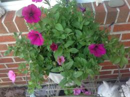 Pretty petunias | Home and Garden | Pinterest 869