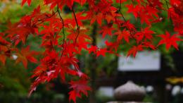Branches Red Maple Leaves | 1920 x 1080 | Download | Close 1025